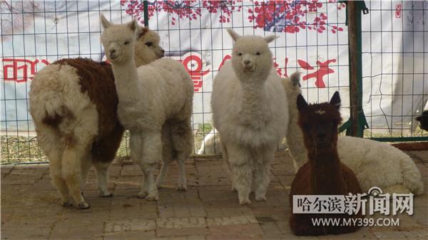 记者从太阳岛风景区获悉,近日,太阳岛风景区新添了5位新成员,它们就是萌态可掬的羊驼宝宝,六一儿童节期间将在太阳岛与游客见面,小朋友们可以和萌宝羊驼亲密接触了。 据了解,太阳岛羊驼宝宝是从南美的智利引进的纯种华卡约羊驼,毛色三白一棕一花,囧囧有神的大眼睛,最酷炫的发型,长睫毛、脖颈细长、两耳竖立,看到这样的小伙伴,你怎能不心动?这五只羊驼均一周岁左右,它们是专门乘飞机来这儿的。刚来时小家伙们还很胆小、害羞,饲养员特意给它们安排了一间比较偏僻的隔离场所。它们平时爱吃内蒙畜牧草和适量的饲料、胡萝卜等
