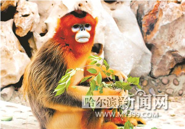 北方森林动物园颜值最高的川金丝猴