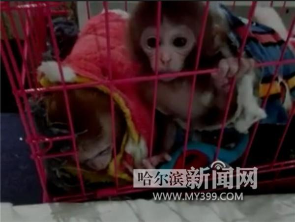 网上叫卖的石猴是保护动物。   昨日,有市民向本报记者反映,有人在朋友圈卖一种叫石猴的宠物猴,号称终身免疫,不需任何饲养手续。   记者向野生动物专家和林业部门咨询得知,所谓石猴实为猕猴的一种,属国家重点保护动物,私自饲养、出售均属违法行为。   昨日,记者通过微信联系到哈市一石猴卖家,被告知其出售的石猴是从南方来的。公母一个价,每只1万5。   该卖家说,石猴平时跟人吃的食物差不多,长到可乐瓶大小就不长了,非常适合作宠物。在出售前他们会给石猴打针,终身防疫。另外,饲养