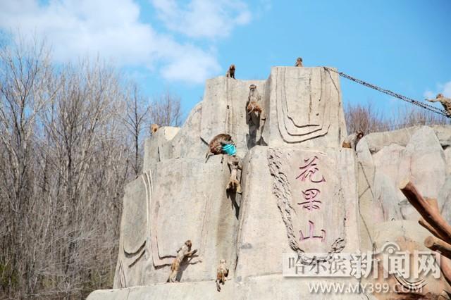 五一到来之际,北方森林动物园猴山的猴子们也不闲着,抡起扫帚,铁锹