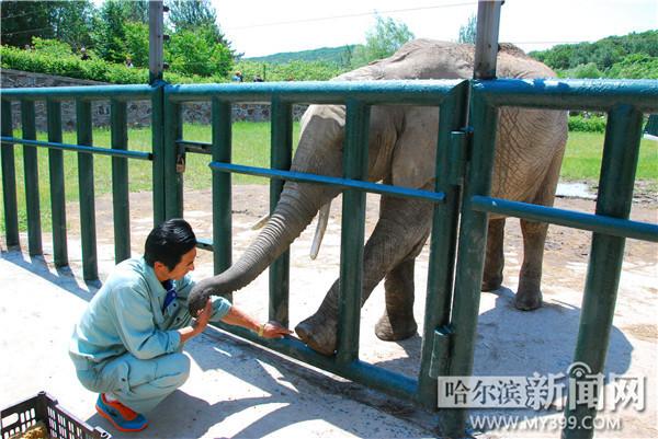 动物园饲养员为大象美甲
