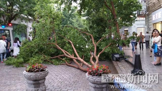 大树被连根拔起