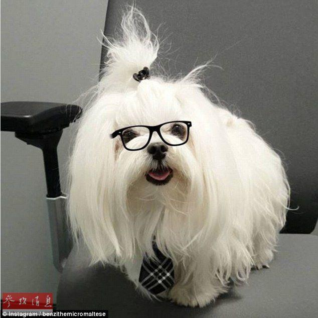 """世界上最可爱的小狗?超萌茶杯犬成""""网红""""(组图)"""
