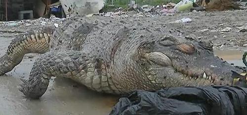 浙江路边现泰国食人鳄