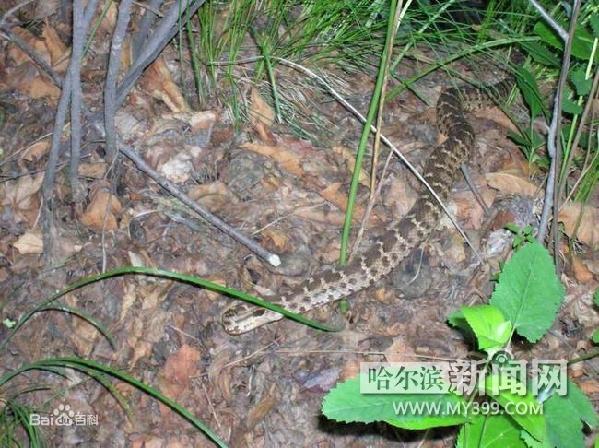 东北常见蛇类