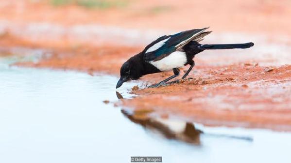 喜鹊是认知能力最出色的鸟类之一。