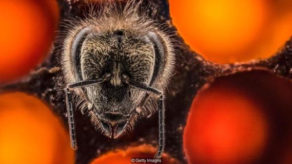 蜜蜂只会思考当前的情况,不会回忆过去或想象未来。
