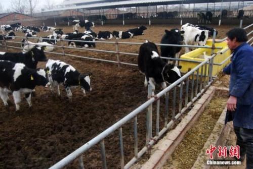 图为奶牛养殖厂。 <a target='_blank' href='http://www.chinanews.com/'><p align=