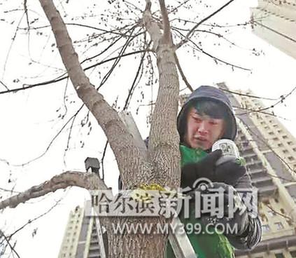 """园林技术人员说,术语叫""""树木清膛拨枝"""",剪枝,防病虫害等同步进行."""