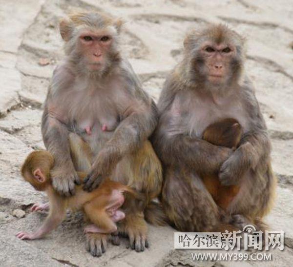 """说好的2016年北方森林动物园猴山""""换届"""""""