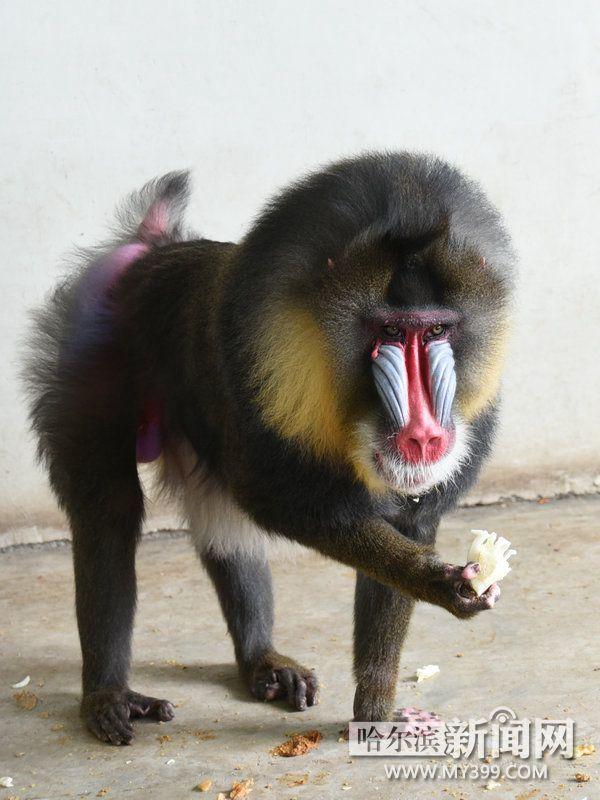 加蓬,尼日利亚,喀麦隆,赤道几内亚的热带雨林中,属于世界一级保护动物