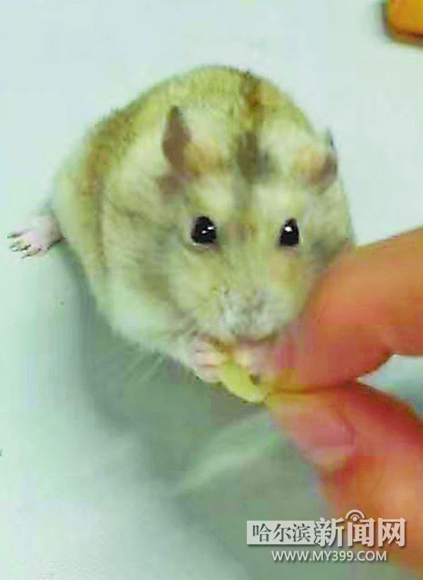 萌宠仓鼠可爱笑