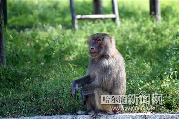 """哈尔滨北方森林动物园小狒狒""""征婚""""成功抱得美人归"""