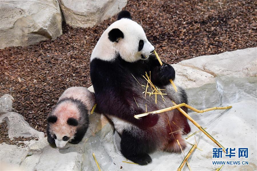 """这是1月13日在法国圣艾尼昂市博瓦勒野生动物园拍摄的大熊猫宝宝""""圆梦""""及其母亲""""欢欢""""。新华社记者 陈益宸 摄"""