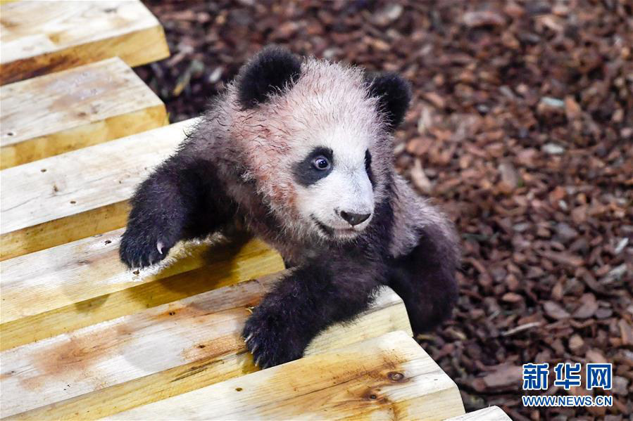 """这是1月13日在法国圣艾尼昂市博瓦勒野生动物园拍摄的大熊猫宝宝""""圆梦""""。新华社记者 陈益宸 摄"""
