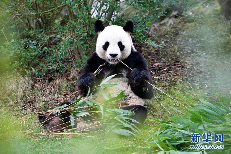 """这是1月13日在法国圣艾尼昂市博瓦勒野生动物园拍摄的大熊猫宝宝""""圆梦""""的父亲——大熊猫""""圆仔""""。新华社记者 陈益宸 摄"""