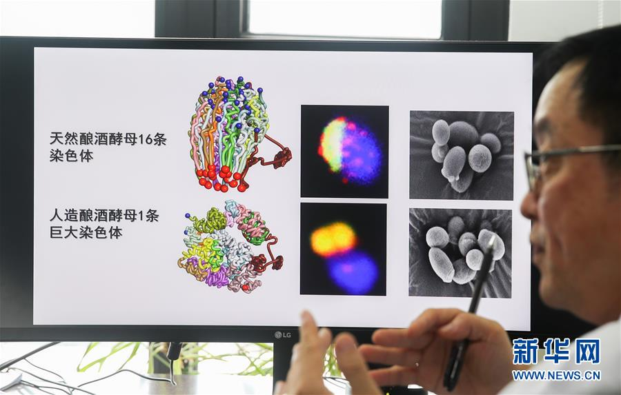(新华全媒头条·图文互动)(3)人造单条染色体真核细胞问世 我国开启合成生物学研究新时代