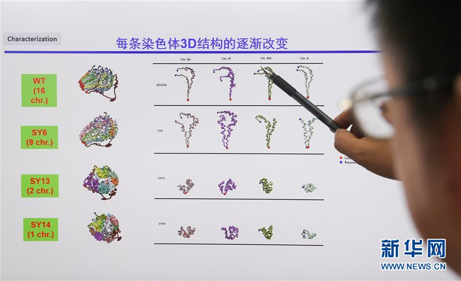 (新华全媒头条·图文互动)(4)人造单条染色体真核细胞问世 我国开启合成生物学研究新时代