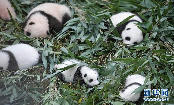 (图文互动)(1)国家林业和草原局发布最新圈养大熊猫数据