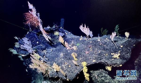 """(图文互动)(3)""""科学""""号在马里亚纳海沟发现多处罕见""""海底花园"""""""