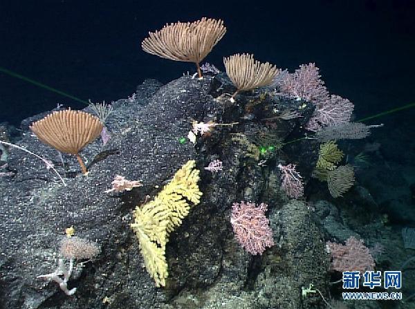 """(图文互动)(5)""""科学""""号在马里亚纳海沟发现多处罕见""""海底花园"""""""