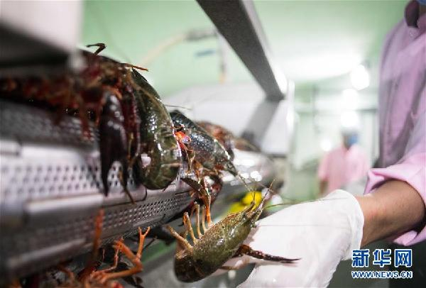 """(国际·图文互动)(8)从尼罗河畔到中国餐桌——一只""""洋""""小龙虾的36小时旅程"""