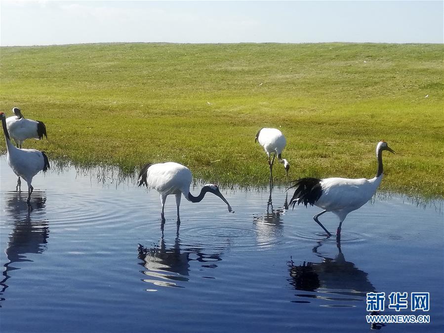 """(在习近平新时代中国特色社会主义思想指引下——新时代新作为新篇章·图文互动)(2)从""""人鸟争食"""" 到""""人鹤和谐""""——湿地生态保护的""""扎龙探索"""""""
