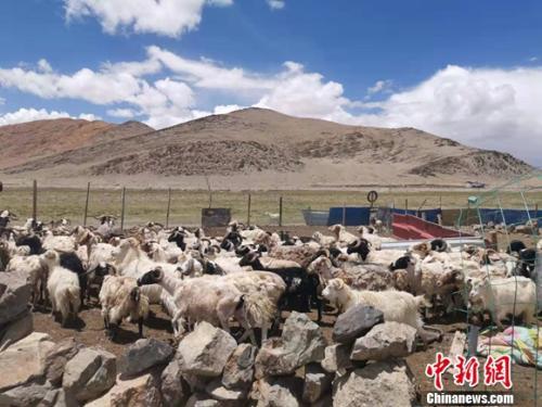 图为羊群正从羊圈里出来。 谢艺观 摄