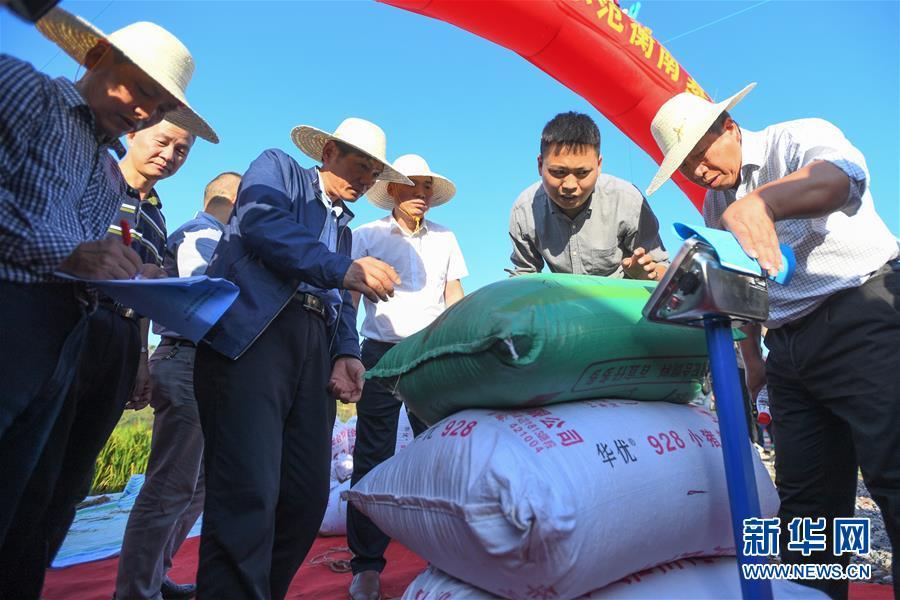 (图文互动)(2)1046.3公斤!袁隆平第三代杂交水稻首次公开测产