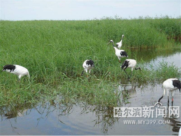 【生态文明@湿地】黑龙sunbet娱乐网官网江巴彦江湾湿地风光无限好